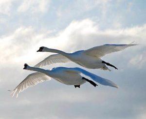 текст песни «Лебединая верность»